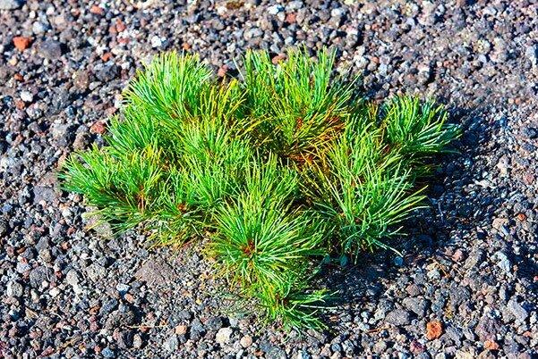 Auf kleinen Kiessteinen wächst ein Busch Zedernholz