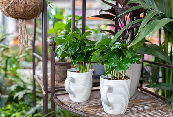 Weiße Tassen stehen in einem Holzregal. In den Tassen ist Erde, aus der grüne Pflanzen wachsen.